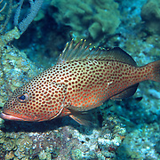 Red Hind inhabit reefs in Tropical West Atlantic; picture taken Grand Cayman.
