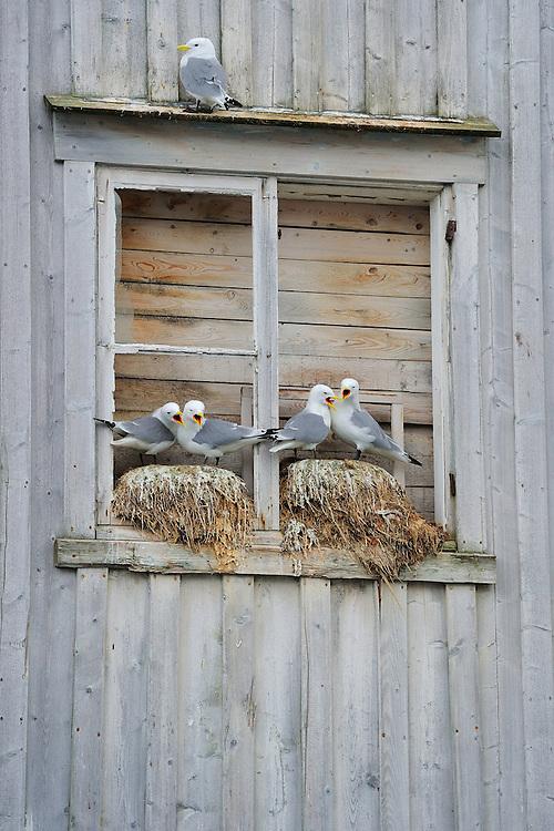 Kittiwake gulls, Rissa tridactyla, breeding on the wall of an abandoned house, Båtsfjord village harbour, Varanger Peninsula, Norway, Scandinavia