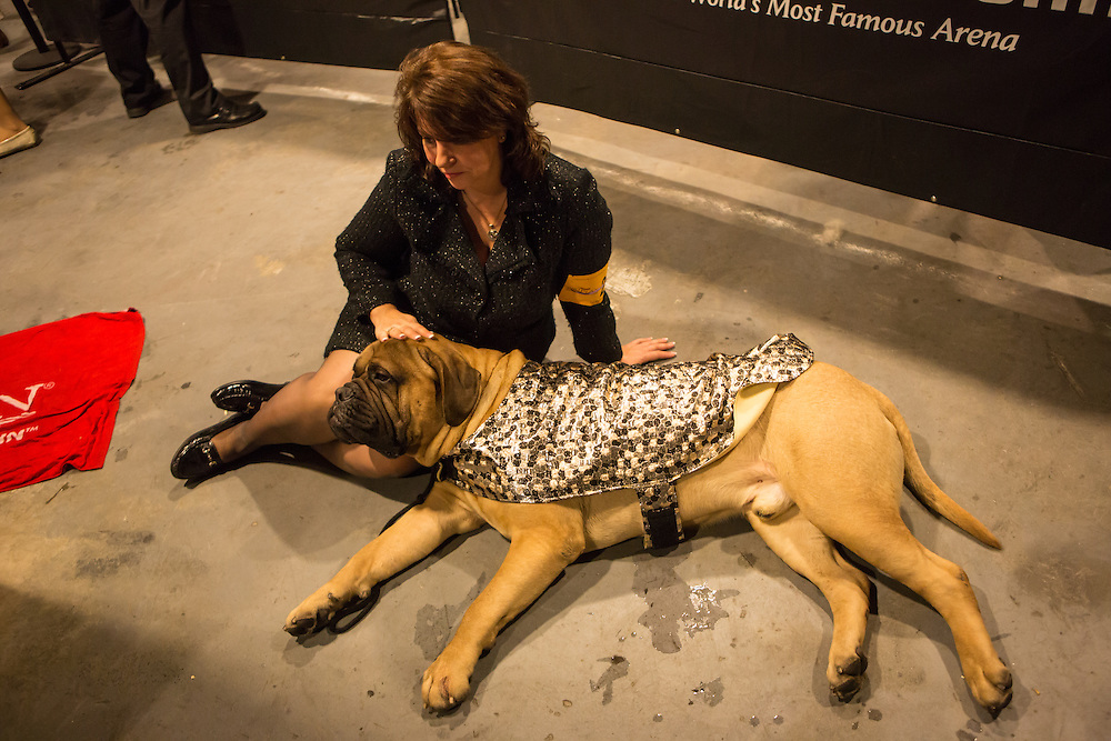 New York City, US, 12 February 2013. A handler and her bull mastiff relax in the wings at the 137th annual Westminster Kennel Club dog show.