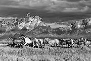 Trail horses service Grand Teton National Park dude ranches and are moved from pasture to corrals daily. Wranglers are often seen leading and driving the horses.