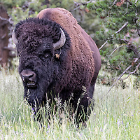 A large bison stops his walk to pose for a few photographs. Hayden Valley, central section of Yellowstone National Park, Wyoming.
