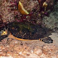 Sleeping Hawksbill Turtle, Eretmochelys imbriocota, (Linnaeus, 1766), Grand Cayman