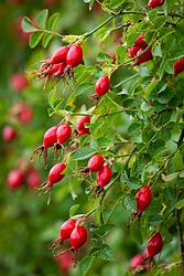Rosehips of Rosa rubiginosa syn. Rosa eglanteria - Sweet briar rose