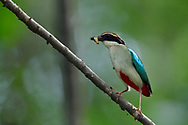 Fairy Pitta, Pitta nympha, sitting with a maggot in its beak, Guangshui, Hubei province, China