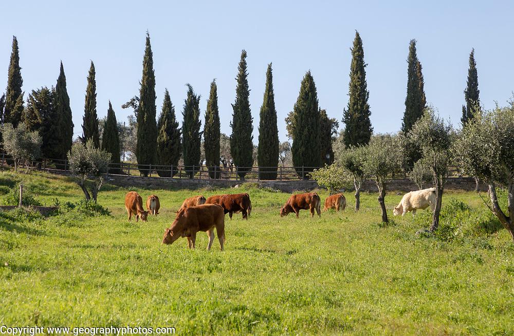 Cows grazing in field in countryside near Evora, Baixo Alentejo, Almendras, near Evora, Portugal, Southern Europe