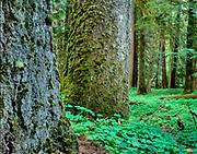 Old-Growth Douglas-fir and Western Hemlock, Mount Rainier National Park, Washington