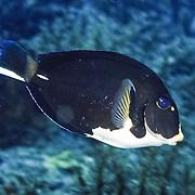 Doctorfish displaying an unusual marking pattern; picture taken Tobago.