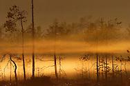 Bog pines, Pinus silvestris, in morning mist, Finland