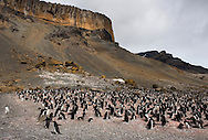 Adelie penguin colony in the Brown Bluff, Antarctica  20081230 (Pygoscelis adeliae)