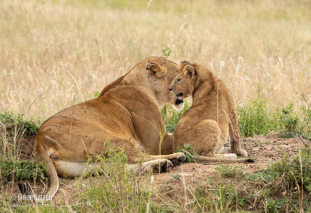 A female Lion, Panthera leo  melanochaita, with her cub in Maasai Mara National Reserve, Kenya