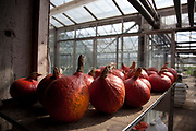 Organic Gourds at Organiclea urban farm in London, UK. Organiclea in Chingford, Waltham forest east London is one of London's most important urban farms. They run an organic veg box delivery scheme and the Hornbeam cafe.