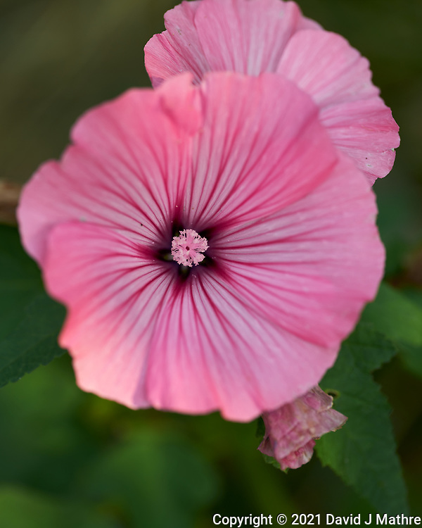 Rose Mallow. Image taken with a Leica SL2 camera and Sigma 105 mm f/2.8 macro lens.