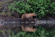 A subadult brown bear smells a scent mark on an alder tree along the shores of Lake Brooks, Katmai National Park.