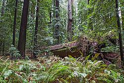 Forest floor in the California Coastal Redwoods.