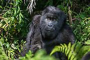 Close-up portrait of a female mountain gorilla (Gorilla beringei beringei) in the forest, Parc de Volcanos, Rwanda, Africa