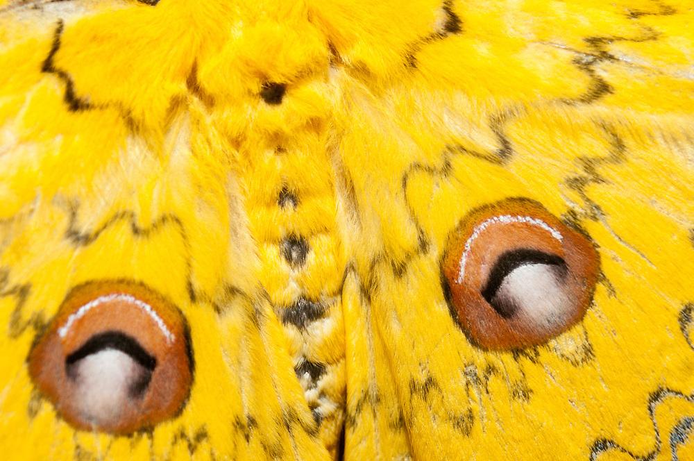 Close up of a Male giant silk moth, Loepa megacore.