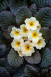 Primula vulgaris 'Dunbeg' - Primrose