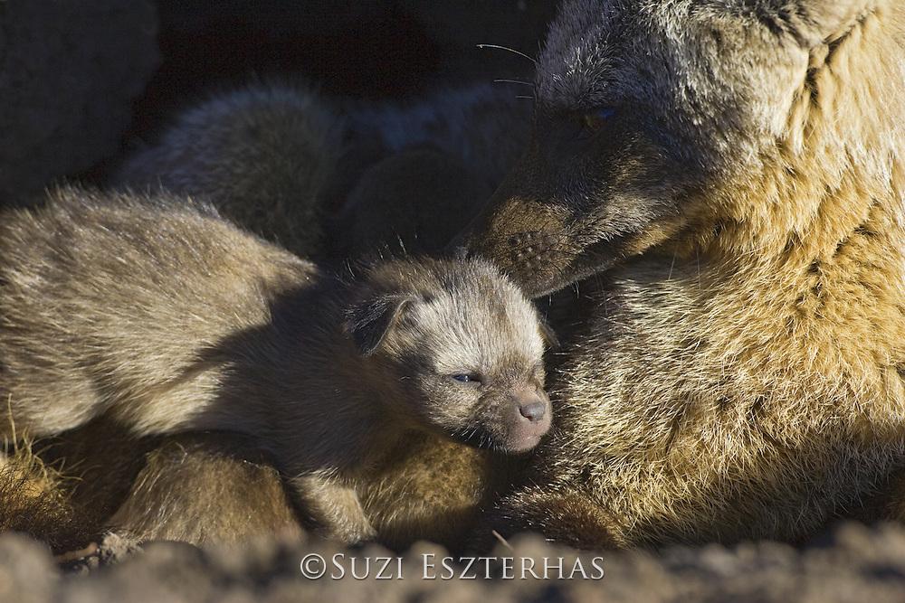 Bat-eared fox<br /> Otocyon megalotis<br /> With 10 day old pup(s) at den<br /> Masai Mara Reserve, Kenya