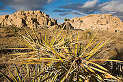 Spiny Joshua Tree (Yucca brevifolia) and rock formations in Joshua Tree National Park, California.