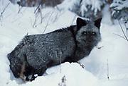 Red Fox ( Vulpes fulva ) Minnesota black phase in snow