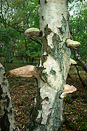 Birch Polypore or Razorstrop Fungus - Piptoporus betulinus