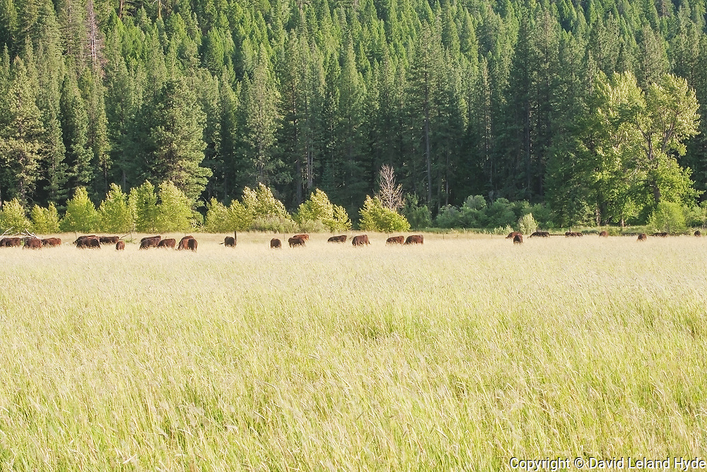 Wagyu Cattle, Tall Grass and Fir Forest Across Genesee Valley, California Mountains, Spring, Ponderosa Pine