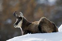 10.11.2008.Chamois (Rupicapra rupicapra). Laying..Gran Paradiso National Park, Italy