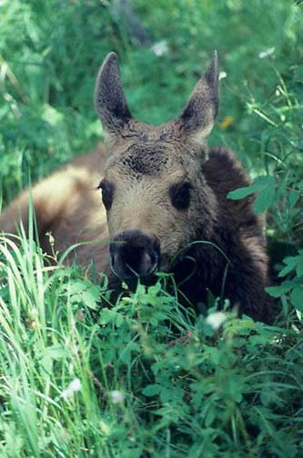 Moose, (Alces alces) Young calf laying in lush meadow grass. Yellowstone National Park Summer.