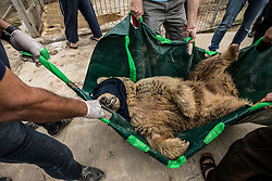March 30, 2017 - Mosul, Nineveh Province, Iraq - LULA is transferred to her cage during the rescue from the Mosul Zoo. Mosul, Iraq. A lion and a bear, just rescued from Mosul's zoo, are prepared to fly to safety outside Iraq and into Erbil, Kurdistan. The two animals nearly starved to death in their cages while battle raged around them in the Iraqi city earlier this year. Several other animals at the zoo died from neglect but these two were finally rescued by the animal charity Four Paws. (Credit Image: © Gabriel Romero via ZUMA Wire)