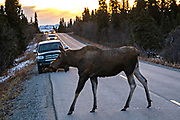 A female Alaskan moose crosses the road during the autumn rut in Denali National Park, McKinley Park, Alaska.