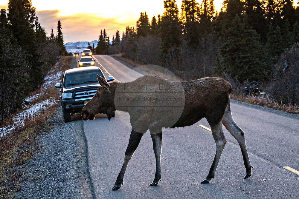 A female Alaskan moose crosses the road during the autumn rut in Denali National Park, McKinley Park, Alaska.