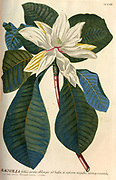Coloured Copperplate engraving of a Flowering Magnolia tree from hortus nitidissimus by Christoph Jakob Trew (Nuremberg 1750-1792)