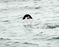 Atlantic Puffin (Fratercula arctica). Viewed from the Vestmannaeyjar ferry. Image taken with a Nikon D4 camera and 80-400 mm VR lens