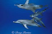 juvenile and subadult Atlantic spotted dolphins, Stenella frontalis, White Sand Ridge, Little Bahama Bank, Bahamas ( Western North Atlantic Ocean )