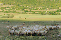 Driving the sheep home in the evening. Lake Prespa National Park, Albania June 2009
