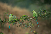 Rose-ringed parakeet (Psittacula krameri manillensis)<br /> National Chambal Sanctuary or National Chambal Gharial Wildlife Sanctuary<br /> Madhya Pradesh, India<br /> Range: Indian Subcontinent. Feral in Australia, UK and USA