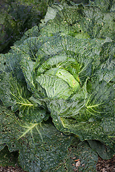 Cabbage 'Tundra' F1 Hybrid (Winter Savoy). Brassica oleracea (Capitata Group)