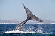 Humpback Whale's body is almost out of the water as it lifts it's tail to slap the water.(Megaptera novaeangliae).Los Cabos, Mexico