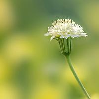 Wild flower in Anza Borrego California!