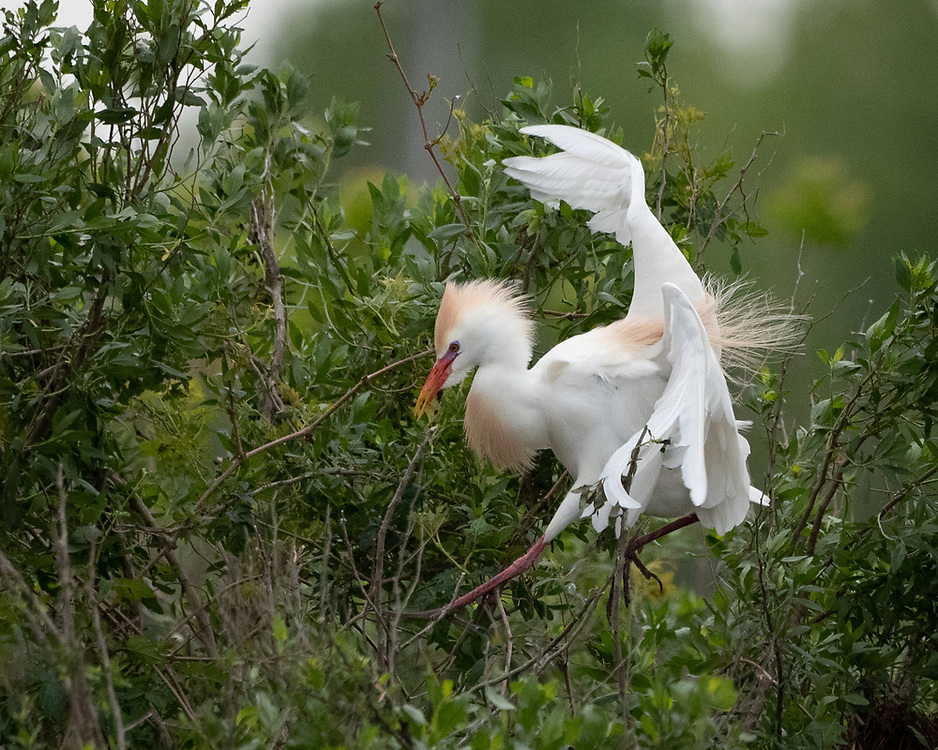 Bubulcus ibis, Resoft County Park, Brazoria County, Texas, April 2021