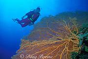 diver and sea fan or gorgonian soft coral, Palau ( Belau ), Western Caroline Islands, Micronesia ( Western Pacific Ocean ) MR 136