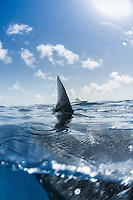 """Iconic """"fin's eys"""" view of the surface with a  boat in the background. As the sharks feed, they often travel very close to the surface, giving amazing perspectives."""