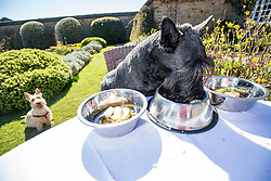 Hamish, the Commonwealth Scottie Dog, tries out the Chez Roux dog menu at Greywalls Hotel & Chez Roux, Gullane. l-r Ground turkey, sweet potato and porridge stew;  the salmon, mackerel, spinach and brown rice risotto; the Chicken liver, Beef and bean meatloaf with jelly.