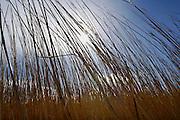 Nederland, Belt-Schutsloot, 24-3-2008..Rietsnijder in het riettelersgebied De Wieden bij Giethoorn. Het riet gaat naar de rietdekker. Riettelers vrezen het einde van hun beroepsgroep als ze alleen nog in de zomer mogen snijden. Het riet is dan van slechte kwaliteit. De regering wil het rietsnijden in het vroege voorjaar verbieden om de natuur niet te verstoren. Ook concurentie uit het buitenland maakt het in deze beroepsgroep moeilijk te werken...Foto: Flip Franssen/Hollandse Hoogte