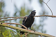 Thick-billed raven (Corvus crassirostris). This bird is the largest member of the raven family and is also the largest perching bird (Passeriformes) reaching a length of 64cm. It is recognisable by the distinct white patch on its nape. The raven inhabits the mountain ranges and plateaus of Eritrea and Ethiopia where it feeds on insects and carrion. Photographed in Ethiopia, Africa in November