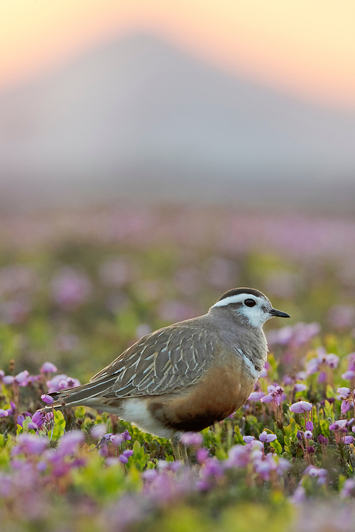 Dotterel, Charadrius morinellus, a colourful and enigmatic high-mountain tundra bird. The female lays her eggs and then leaves on vacation far south, whilst the male broods the eggs and raises the chicks. Therefore she is the most glamourus-looking one and he is the camouflage-coloured one. Flatruet, Ljungdalsfjällen, Härjedalen, Sweden