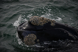HERMANUS (SOUTH AFRICA), Oct. 2, 2015 (Xinhua) -- Photo taken on Oct. 2, 2015 shows a southern right whale during the Hermanus Whale Festival in Hermanus, South Africa, on Oct. 2, 2015. The annual Hermanus Whale Festival kicked off here Friday, celebrating the returning of the southern right whales to this bay during the calving and mating season. More than 100,000 visitors are expected to come to Hermanus, which is known as the best land-based whale watching destination in the world. (Xinhua/Zhai Jianlan) (Credit Image: © Zhai Jianlan/Xinhua via ZUMA Wire)