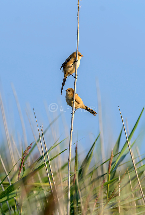 Pair of bearded tits (Panurus biarmicus) from Vejlerne, northern Denmark in August 2021. Male at the top.