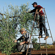 Harvesting olives near Villafranca de los Barros, Badajoz province, Extremadura region, Spain . The WAY OF SAINT JAMES or CAMINO DE SANTIAGO following the Silver Way, between Seville and Astorga, SPAIN. Tradition says that the body and head of St. James, after his execution circa. 44 AD, was taken by boat from Jerusalem to Santiago de Compostela. The Cathedral built to keep the remains has long been regarded as important as Rome and Jerusalem in terms of Christian religious significance, a site worthy to be a pilgrimage destination for over a thousand years. In addition to people undertaking a religious pilgrimage, there are many travellers and hikers who nowadays walk the route for non-religious reasons: travel, sport, or simply the challenge of weeks of walking in a foreign land. In Spain there are many different paths to reach Santiago. The three main ones are the French, the Silver and the Coastal or Northern Way. The pilgrimage was named one of UNESCO's World Heritage Sites in 1993. When there is a Holy Compostellan Year (whenever July 25 falls on a Sunday; the next will be 2010) the Galician government's Xacobeo tourism campaign is unleashed once more. Last Compostellan year was 2004 and the number of pilgrims increased to almost 200.000 people.