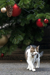 © Licensed to London News Pictures. 02/12/2017. London, UK. Larry, the Downing Street cat, underneath the Downing Street Christmas Tree. Photo credit: Rob Pinney/LNP
